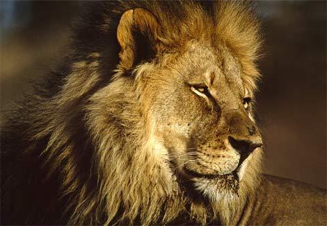 african-lion-male-head