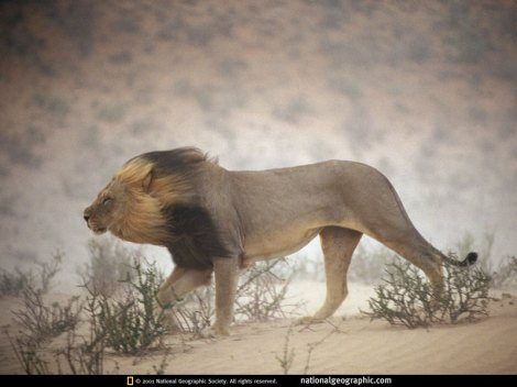National Geographic Lion windswept-lion-128395-sw