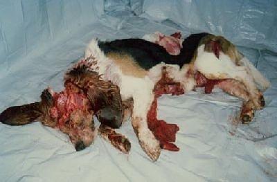 vivisection - a sacrificed dog
