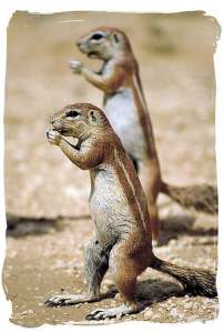 2 ground-squirrels on alert and storing food