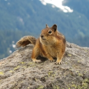 golden-mantled_ground_squirrel_mount_rainier_july_2006